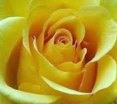 yellow.rose.01